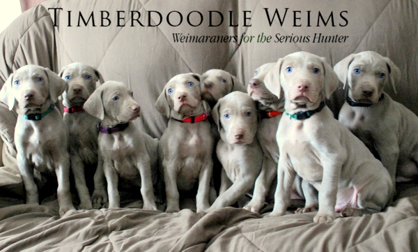 www.timberdoodleweims.net - Page - Puppies - Top of Page