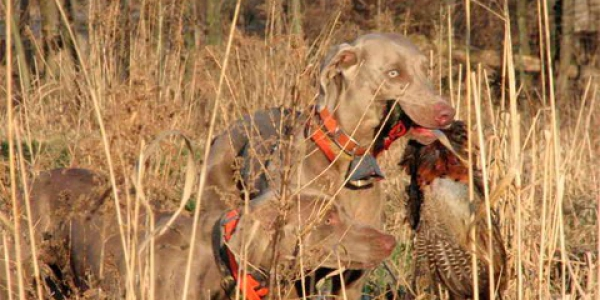 www.timberdoodleweims.net – Gallery – Hunting – 092