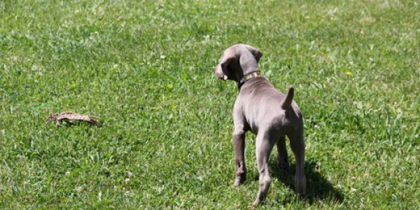 www.timberdoodleweims.net – Gallery- Puppy – 043
