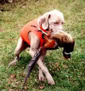 www.timberdoodleweims.net - Gallery - Hunting - 132