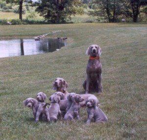 www.timberdoodleweims.net - Gallery- Puppy - 053