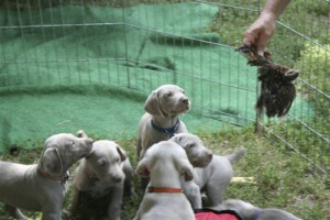 www.timberdoodleweims.net - Gallery- Puppy - 055
