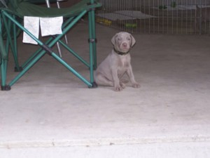 www.timberdoodleweims.net - Gallery- Puppy - 070